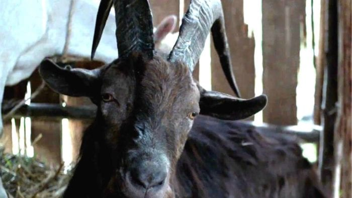 a dark brown and black goat with horns lays in a barn.