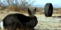 A rubber tire vs. a startled hare