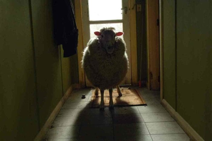 a sheep stands in the middle of a hallway, a glass door behind it