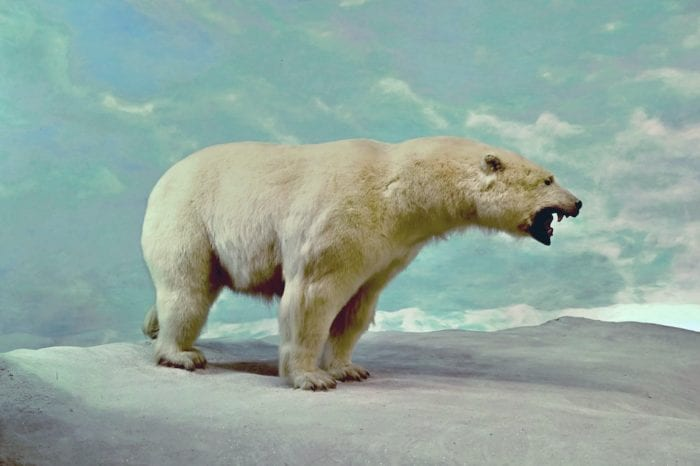 Taxidermy Polar Bear